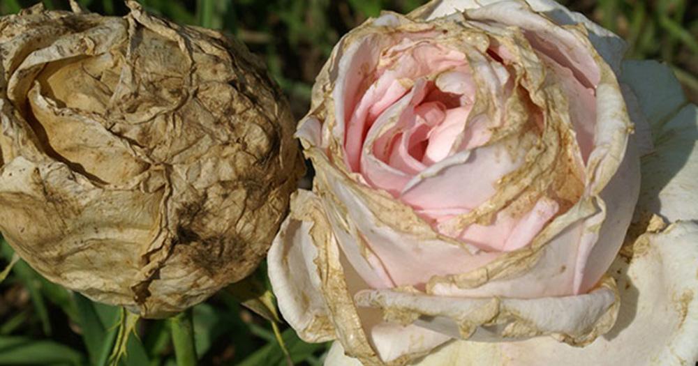 Bệnh mốc xám trên hoa hồng