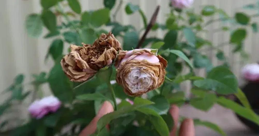 Nấm hoa hồng là gì?